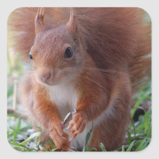 Ardilla Squirrel, foto/: Jean Louis Glineur Pegatina Cuadrada