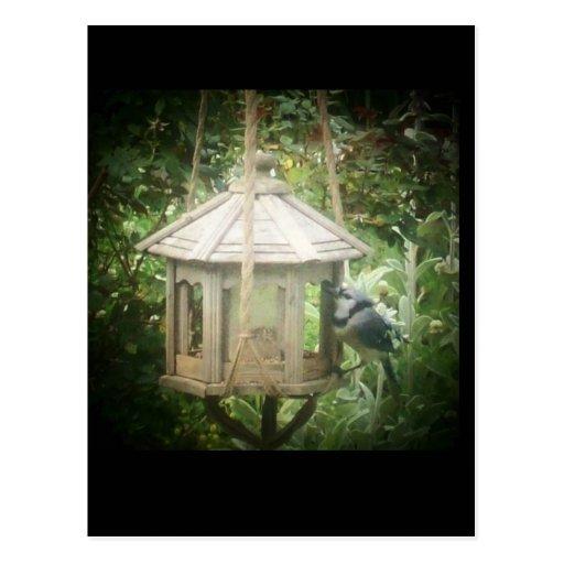 Arrendajo azul en alimentador del pájaro postal