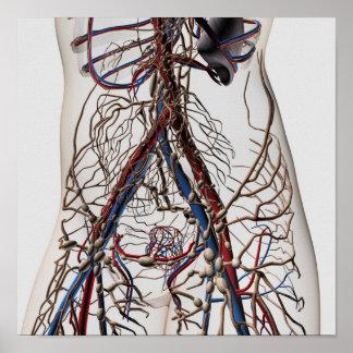 Arterias, venas, y sistema linfático 4 póster