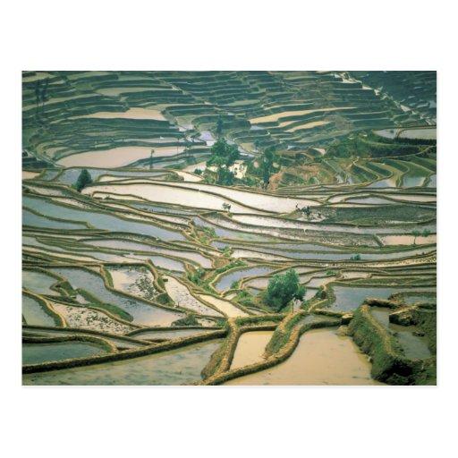 Asia, China. Las terrazas inundadas del arroz acer Postales