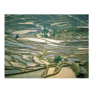 Asia, China. Las terrazas inundadas del arroz Postal