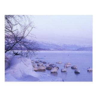 Asia, Japón, Hokkaido, Akan NP, cisnes del Whopper Postal