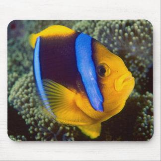 Australia, la gran barrera de coral, Anemonefish Alfombrilla De Ratón