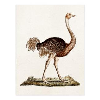 Avestruces retras de los 1700s del ejemplo de la postal