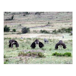 avestruces tres postal