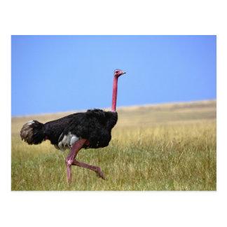 Avestruz masculina en el plumaje de la cría, postal
