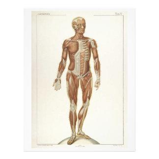 Aviador anterior de los músculos folleto 21,6 x 28 cm