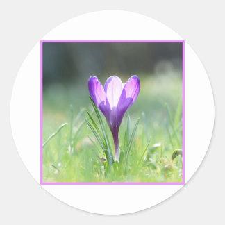 Azafrán púrpura en la primavera 03,3 pegatina redonda
