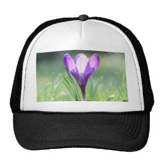 Azafrán púrpura en primavera gorra