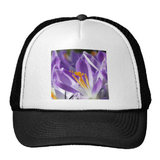 Azafrán violeta de la primavera gorra