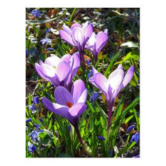 Azafranes violetas 02,0, saludos de la primavera postal