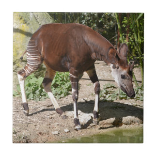 Azulejo De Cerámica Okapi (johnstoni del Okapia) cerca de la charca