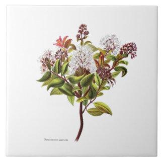 Azulejo Flores del vintage NZ - albiflora de Meterosideros