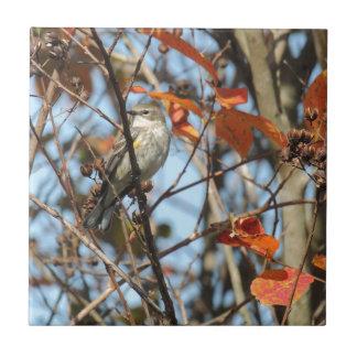 Azulejo Gorjeo Amarillo-rumped en invierno
