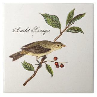 Azulejo Pájaros del pájaro cantante del pájaro del Tanager