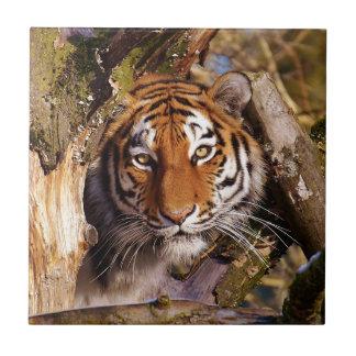Azulejo Peligroso hermoso despredador de la piel del tigre