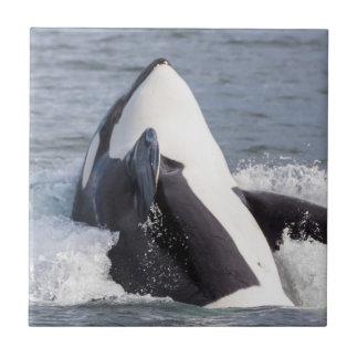 Azulejo Violación de la ballena de la orca