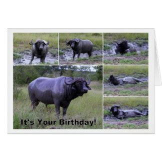 Baño de fango del búfalo del cabo del feliz cumple tarjetas