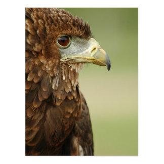 Bateleur Eagle Terathopius Ecaudatus Postal