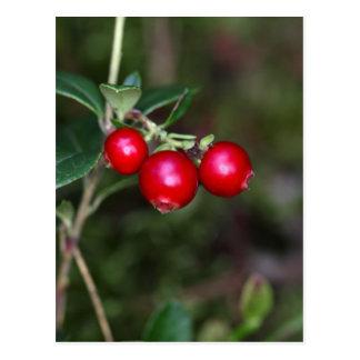 Bayas de un lingonberry salvaje (Vaccinium Postal