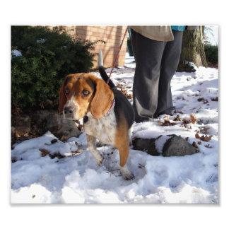 Beagle afuera en la pata de elevación de la nieve impresiones fotográficas