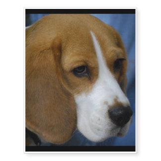 Beagle lindo