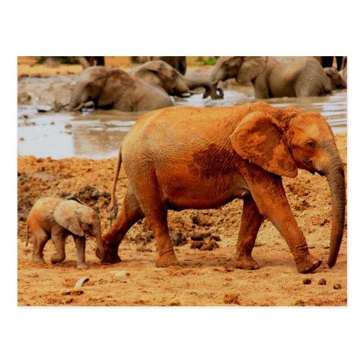 becerro y elefante recién nacidos tarjetas postales
