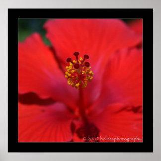 Belice - flor roja póster