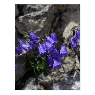 Bellflower de Earleaf (cochleariifolia del Postal
