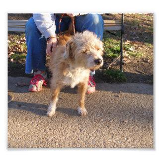 Benji que mira el perro peludo de Terrier Impresiones Fotograficas