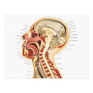 Bisección humana científica médica de la anatomía postal