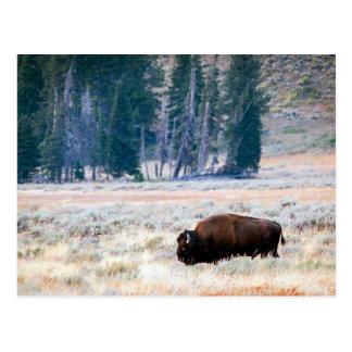 Bisonte americano en el parque nacional de postal