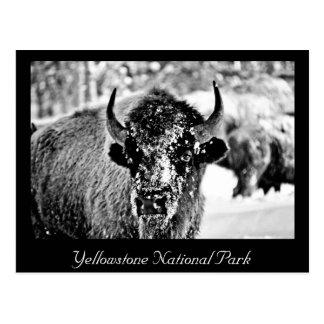 Bisonte escarchado de Yellowstone Postal