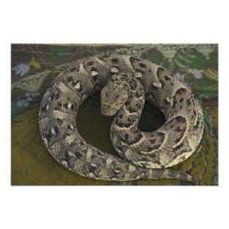 Bitis africano de la Soplo-serpiente del encantado Arte Fotográfico