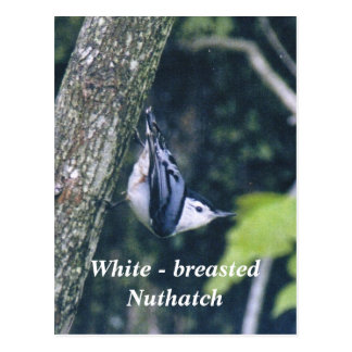 Blanco - trepatroncos breasted postal