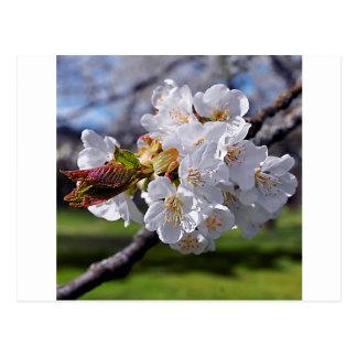 Blanquea Apfelblüten en la primavera Postal