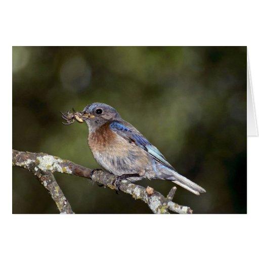 Bluebird occidental, mexicana del Sialia, con la a Felicitaciones