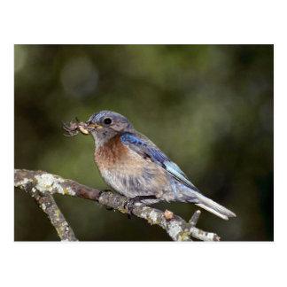 Bluebird occidental, mexicana del Sialia, con la a Postal
