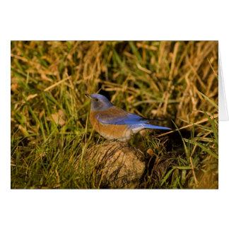 Bluebird occidental, mexicana del Sialia, varón ad Tarjeta