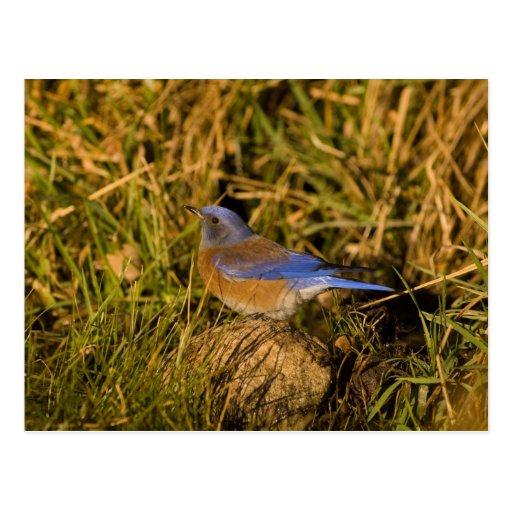 Bluebird occidental, mexicana del Sialia, varón ad Postales