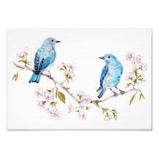 Bluebirds de la montaña en la rama de Sakura Foto