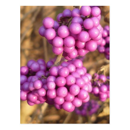 Bodinieri de Callicarpa (rosa) - postal
