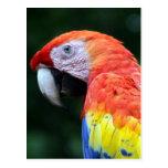 bonito del macaw del escarlata postal