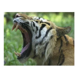 bostezo del tigre postal