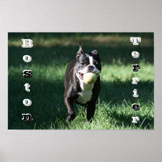 Boston Terrier Póster