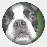 Boston Terrier se descoloró alrededor de los Etiquetas Redondas