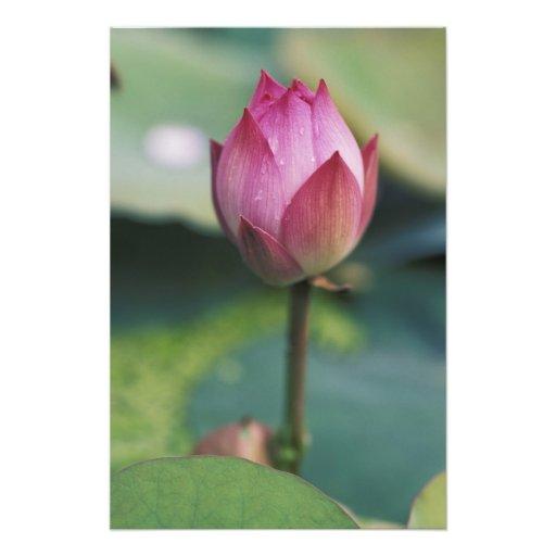 Brote de flor de Lotus, provincia de Hangzhou, Zhe Fotos