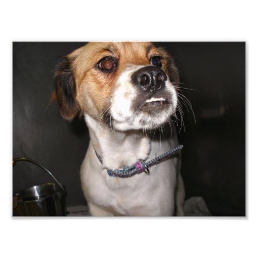 Brown y perro blanco con Underbite Cojinete