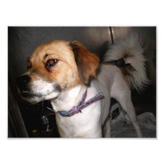 Brown y perro blanco con Underbite y las cejas Fotografias
