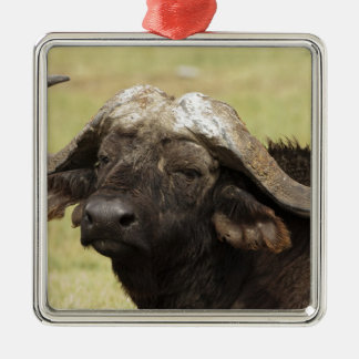 Búfalo africano, caffer de Syncerus, colocándose Adorno Cuadrado Plateado